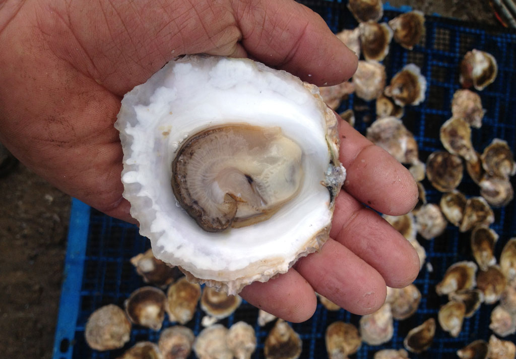 native flat angasi oysters